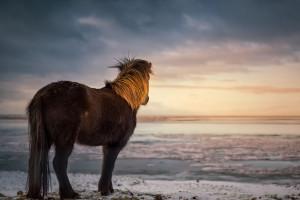 Icelandic horse (Iceland, 2019)
